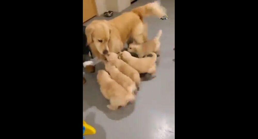 """Adorabili cuccioli di Golden Retriever """"assalgono"""" la loro mamma - Video"""