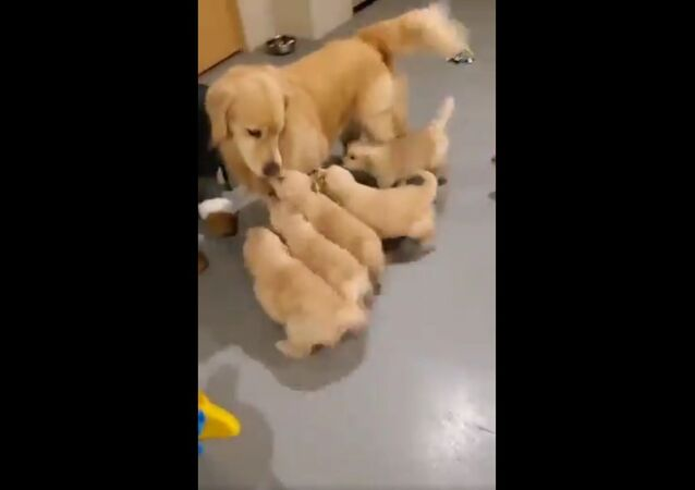 "Adorabili cuccioli di Golden Retriever ""assalgono"" la loro mamma - Video"