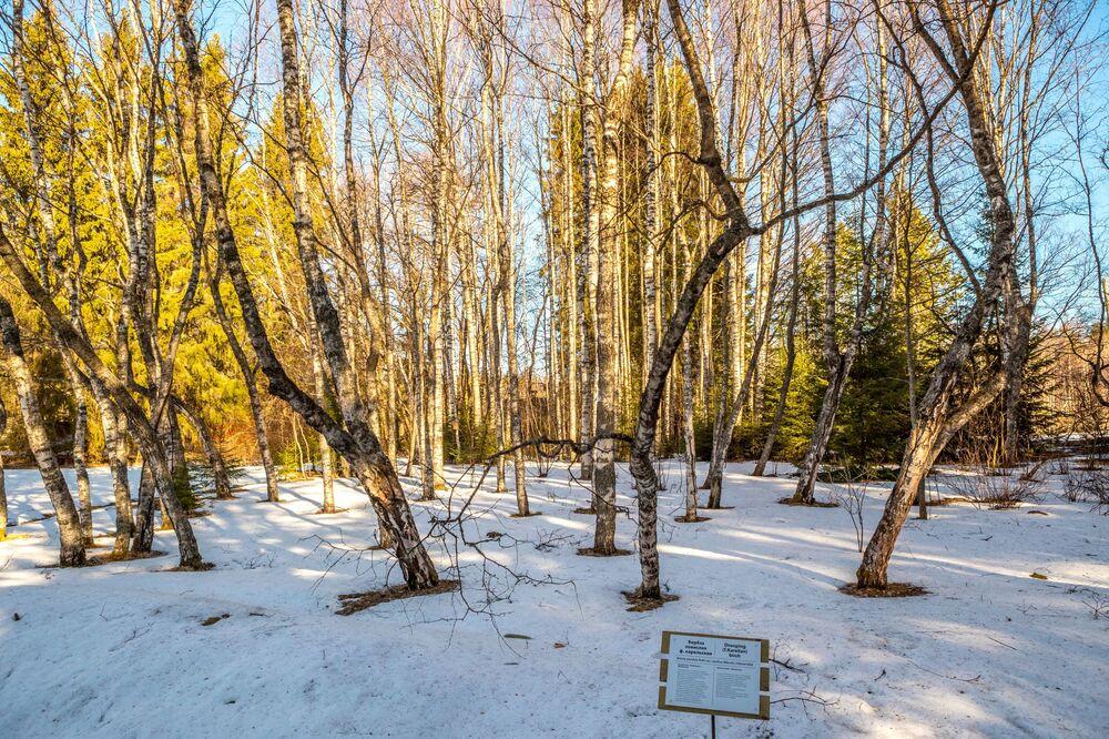 Un Boschetto di Betulle sul territorio della Riserva Naturale di Kivach nella Repubblica di Carelia, Russia