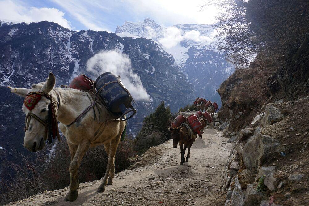 Dei muli stanno trasportando delle bombole di gas come parte delle misure preventive contro il coronavirus Covid-19, Nepal.