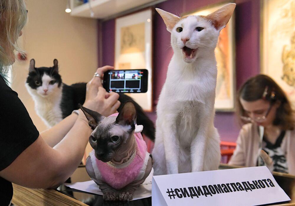 Un gatto presente alla videoconferenza Mici contro il coronavirus nella caffetteria Repubblica dei gatti a San Pietroburgo.