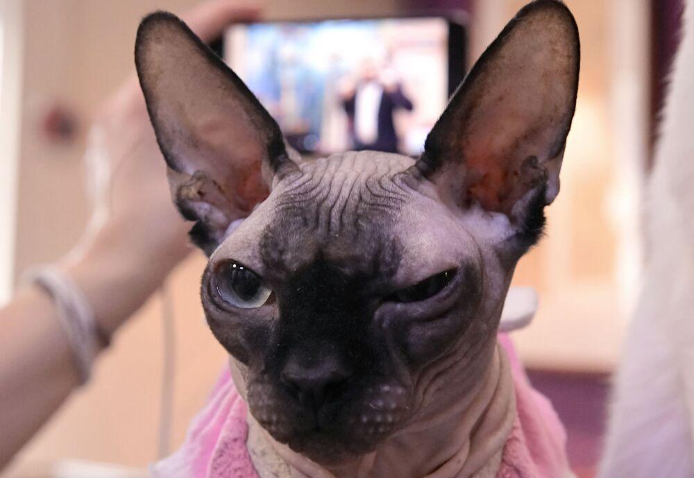 Un gatto sphynx presente alla videoconferenza Mici contro il coronavirus nella caffetteria Repubblica dei gatti a San Pietroburgo.