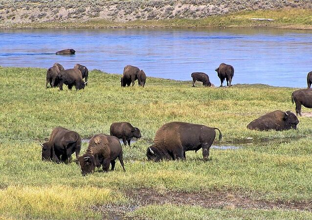 Bisonte americano nel parco nazionale di Yellowstone, Hayden Valley