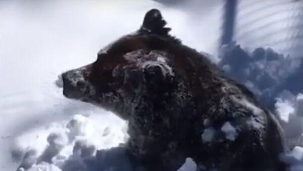 Ecco come un orso si sveglia dopo un lungo letargo - Video - Sputnik Italia