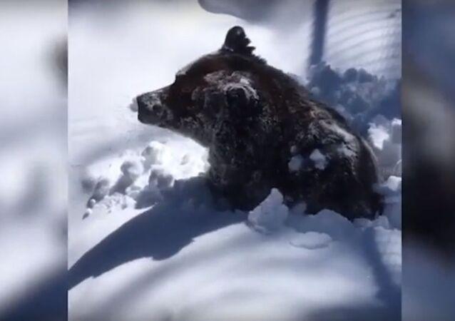 Ecco come un orso si sveglia dopo un lungo letargo - Video