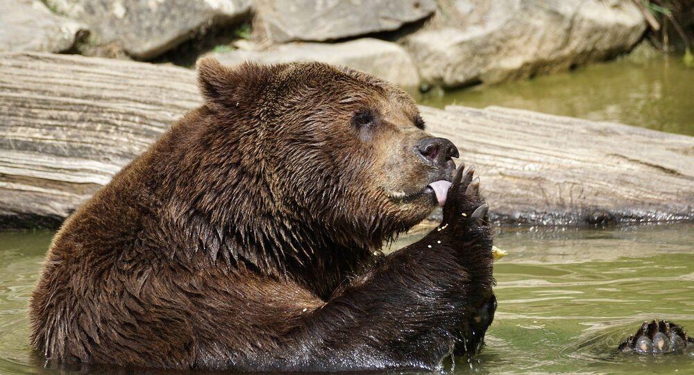 Orso della Kamchatka in cattività