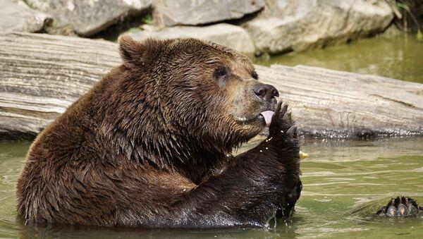 Orso della Kamchatka in cattività - Sputnik Italia