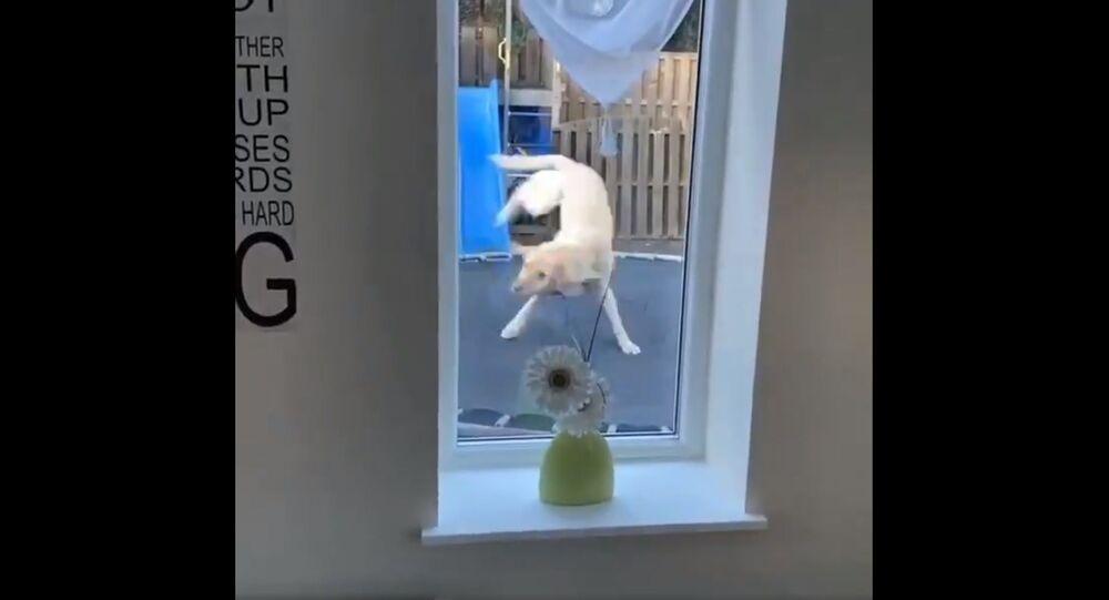 Facciamo un salto: Labrador Retriever si diverte sul trampolino