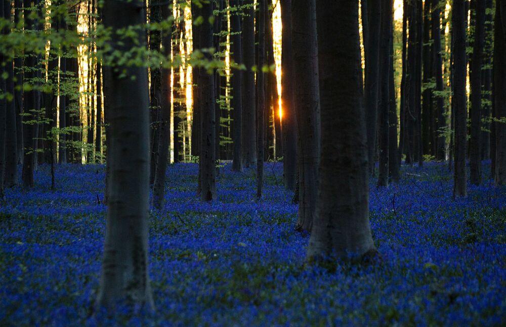 La fioritura di giacinti nel bosco Hallerbos in Belgio.