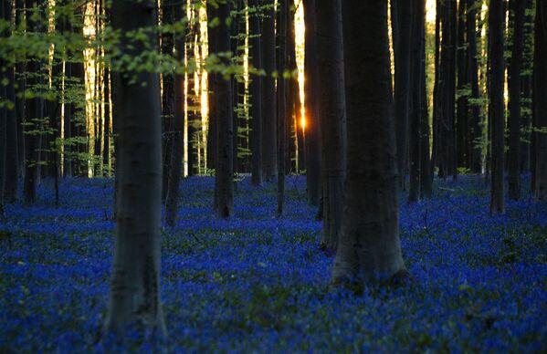 La fioritura di giacinti nel bosco Hallerbos in Belgio. - Sputnik Italia