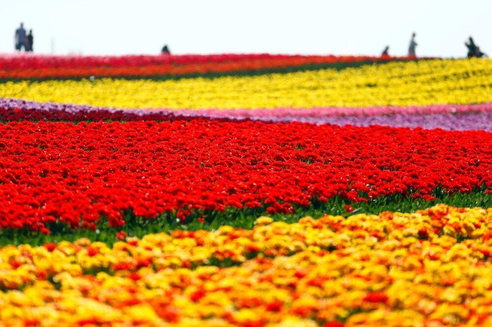 Un campo di tulipani in fiore in Germania.