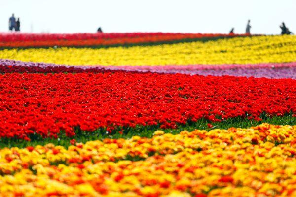 Un campo di tulipani in fiore in Germania. - Sputnik Italia