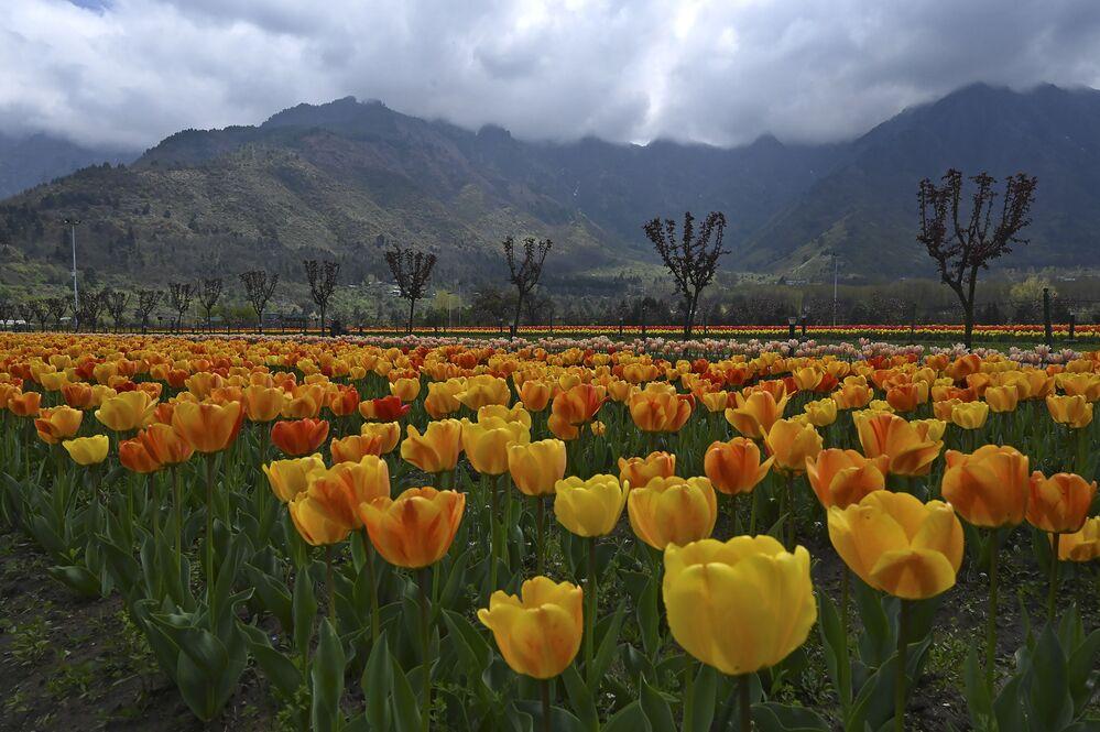 Tulipani fioriscono in India.