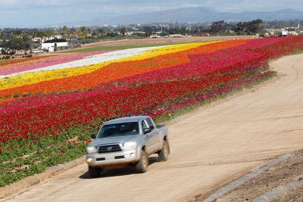 Campi in fiore in California, USA. - Sputnik Italia