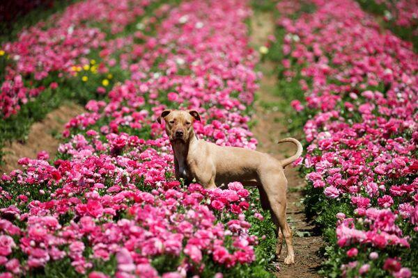 Un cane visto in un campo in fiore al sud di Israele. - Sputnik Italia