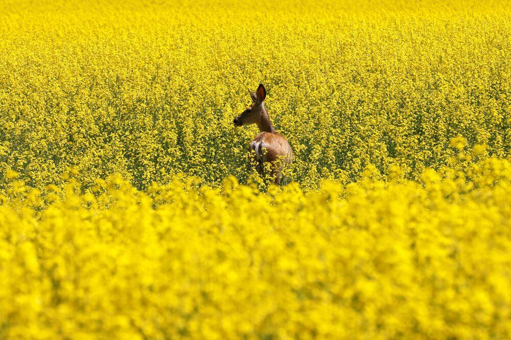 Un cervo in un campo in fiore in Canada.