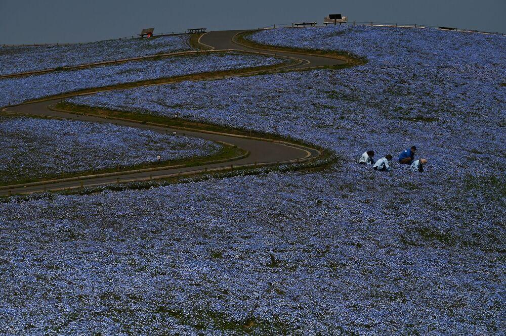 Lavoratori rimuovono erbacce in un campo in fiore in Giappone.