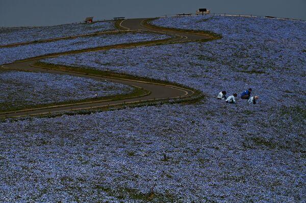 Lavoratori rimuovono erbacce in un campo in fiore in Giappone. - Sputnik Italia