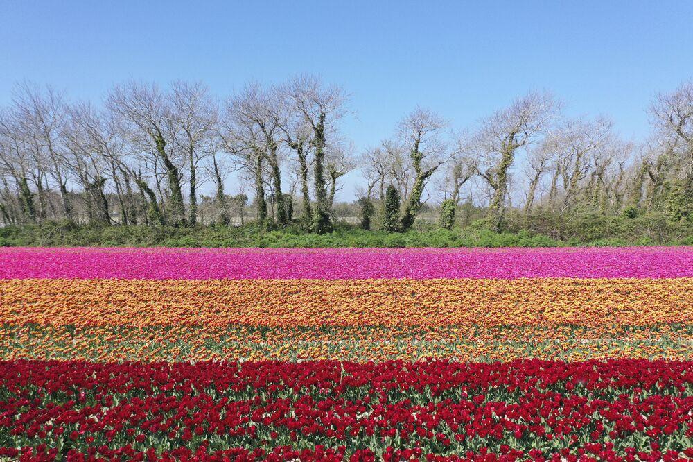 Una fotografia aerea di un campo di tulipani a Plomeur, Francia.