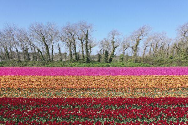 Una fotografia aerea di un campo di tulipani a Plomeur, Francia. - Sputnik Italia