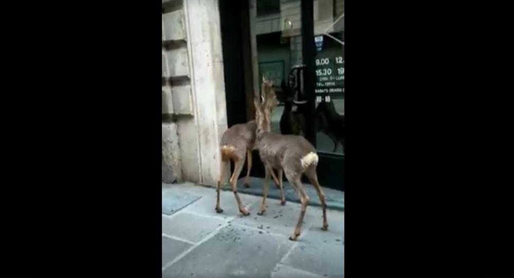 Caprioli cercano di entrare in un negozio