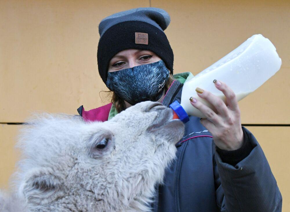 Zoologa del parco di flora e fauna di Roev Ruchey Marina Bayzarova nutre un neonato cammello a due gobbe a Krasnoyarsk