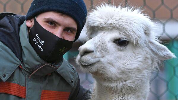 Zoologo del parco di flora e fauna Royev Ruchey Semyon Pichuev con l'alpaca di nome Giulietta a Krasnoyarsk - Sputnik Italia