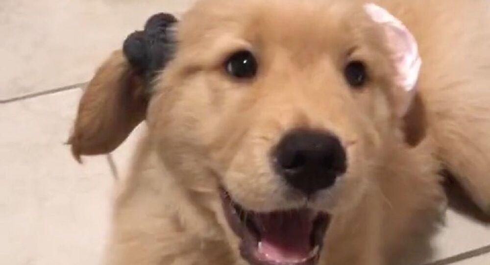 Chi è il più bello di tutti? Il cucciolo di Golden Retriever prova elastici per i capelli - Video