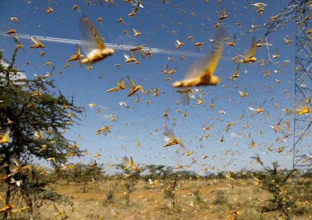 Uno sciame di locuste del deserto sorvola un ranch vicino alla città di Nanyuki nella contea di Laikipia, Kenya, 21 febbraio 2020.