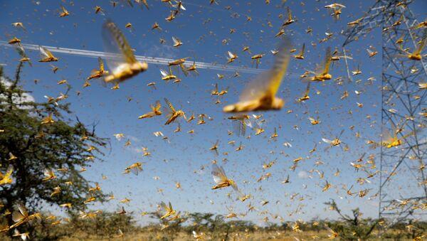Uno sciame di locuste del deserto sorvola un ranch vicino alla città di Nanyuki nella contea di Laikipia, Kenya, 21 febbraio 2020. - Sputnik Italia
