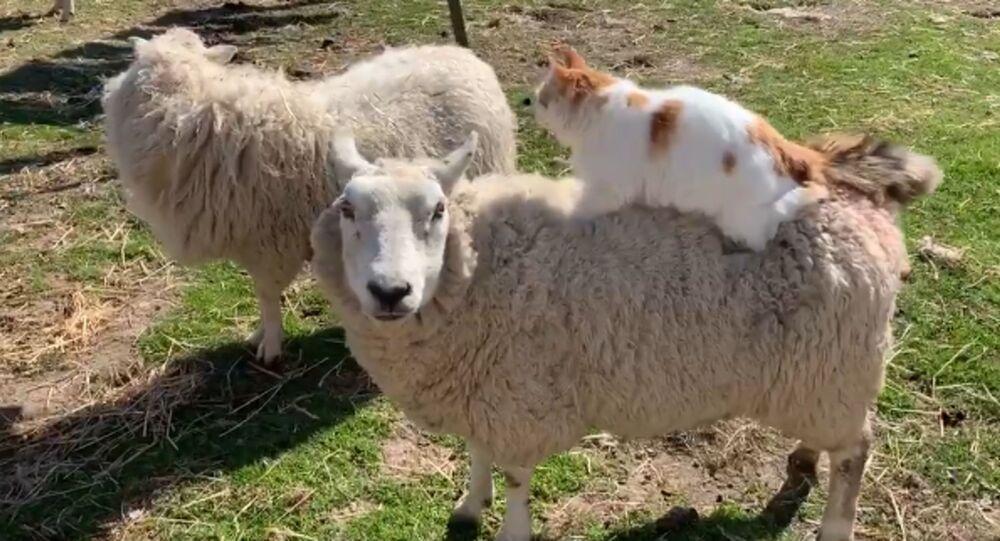 Gatto fa massaggio a una pecora