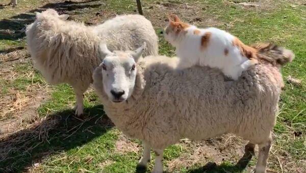 Gatto fa massaggio a una pecora - Sputnik Italia