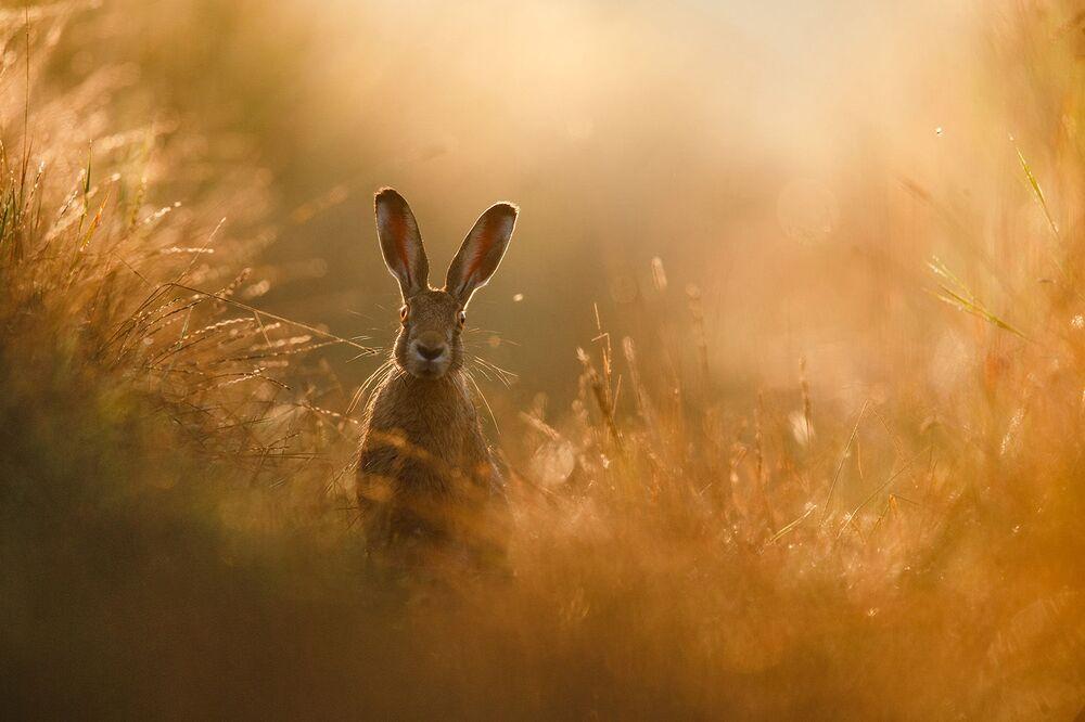 Sogno di lepre di Peter Linden, lo scatto vincitore del concorso GDT Nature Photographer of the Year 2020.
