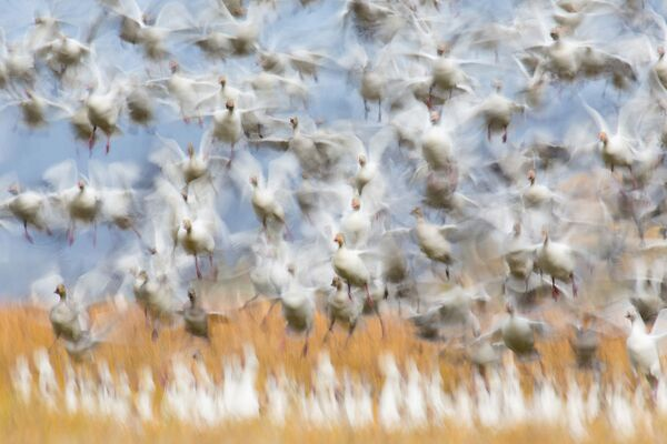 Lo scatto Il decollo di Flurin Leugger, al primo posto della categoria Uccelli.  - Sputnik Italia