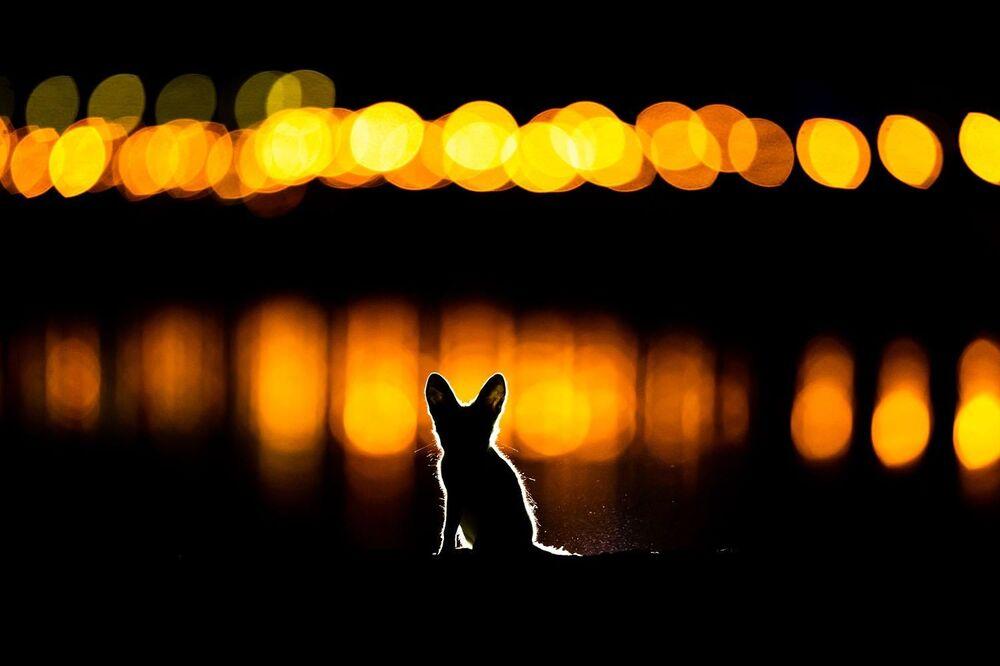Lo scatto Una volpe fluorescente di Mohammad Murad. Al secondo posto della categoria Mammiferi.