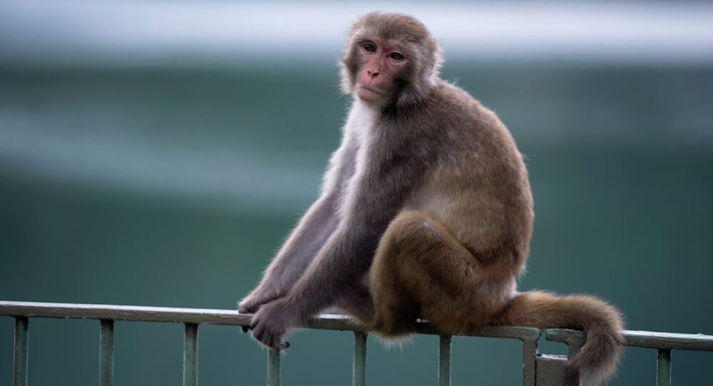 A macaque monkey sits on a fence in a country park in Hong Kong.