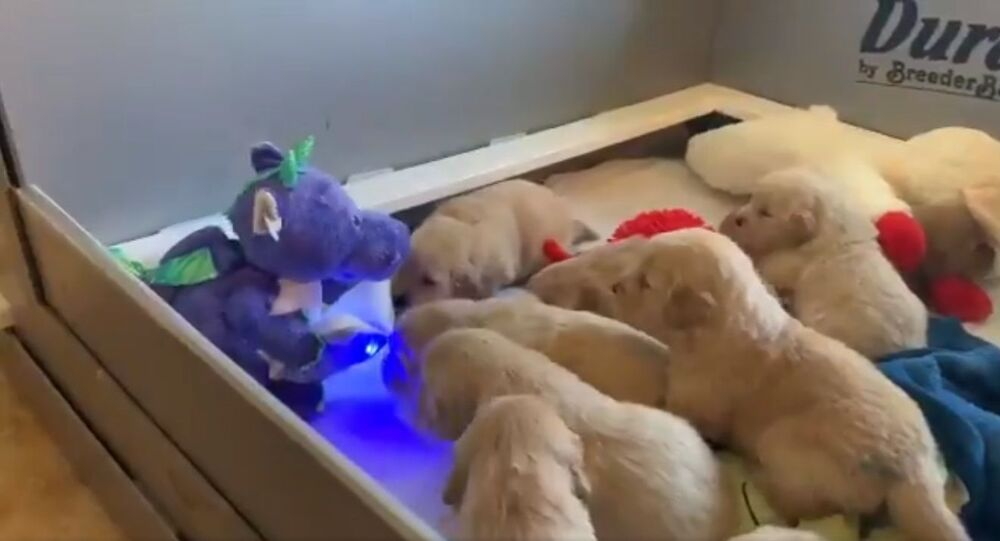 Golden retriever puppies comforted by a talking dinosaur