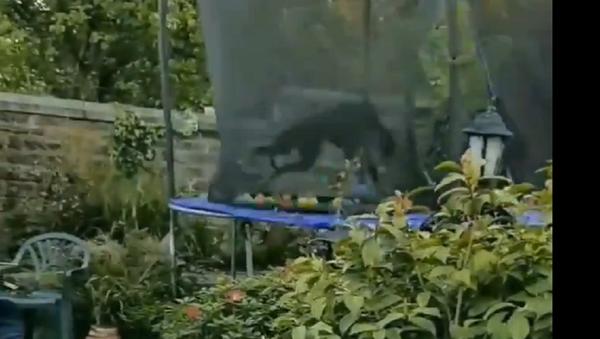 Levriero su trampolino - Sputnik Italia