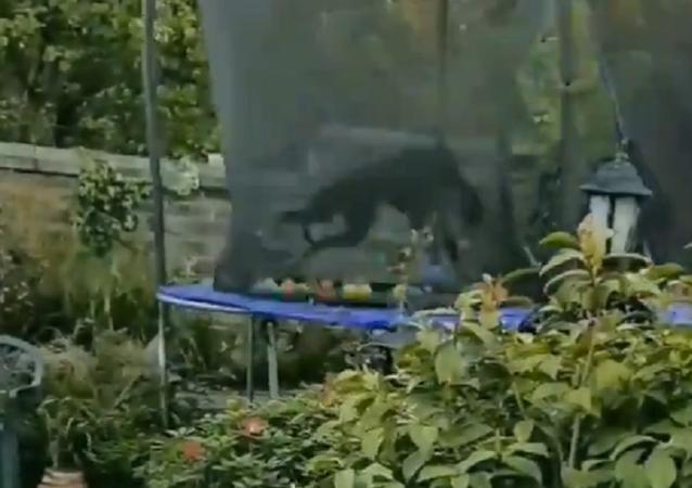 Levriero su trampolino