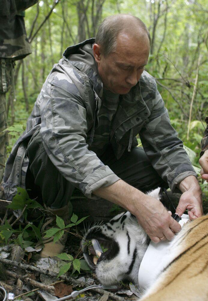 Il primo ministro russo Vladimir Putin mette il guinzaglio a una tigre di cinque anni, catturata dagli scienziati, nell'Estremo Oriente russo, il 31 agosto 2008.