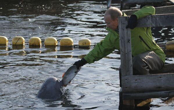 Il premier russo Vladimir Putin dà da mangiare a una beluga nell'Estremo Oriente russo, il 31 luglio 2009.  - Sputnik Italia