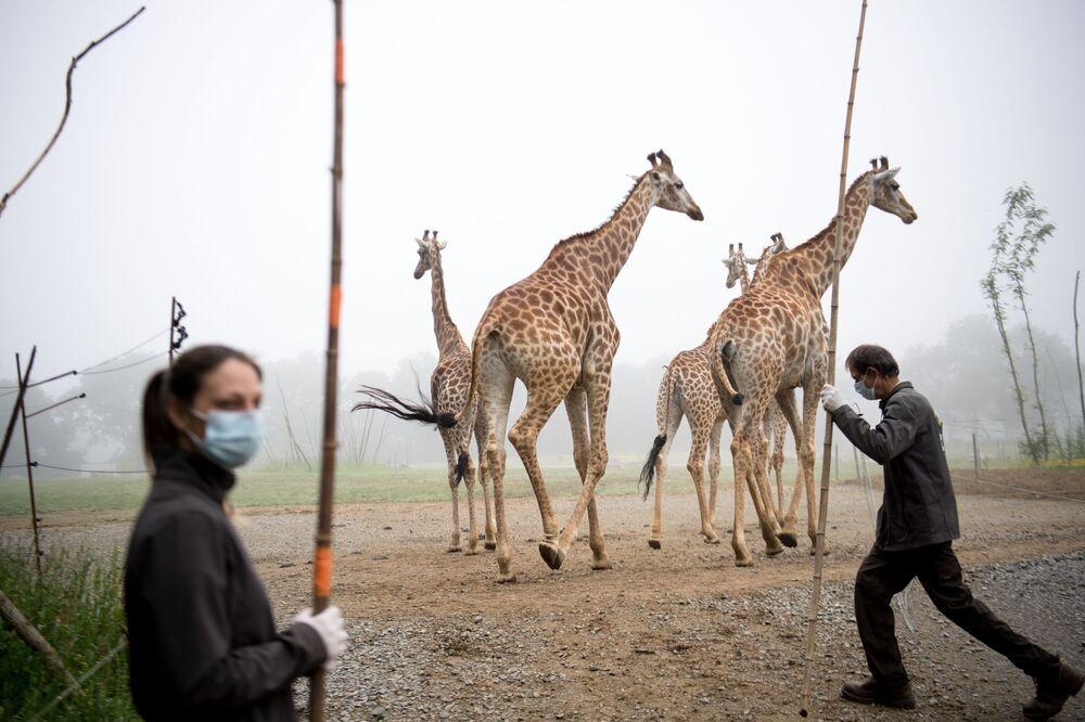Giraffe al parco zoologico Planete Sauvage a Saint-Pere-en-Ret, Francia