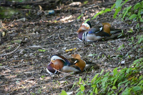 A Berlino si possono trovare anche gli uccelli acquatici esotici. Le anatre mandarina provengono dall'Asia orientale. - Sputnik Italia