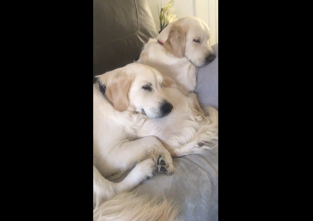 Golden Retrievers couple
