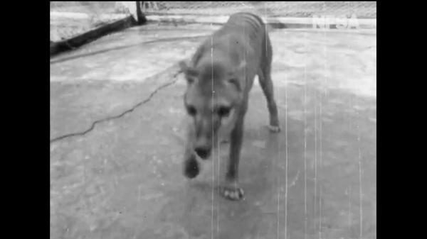 Raro filmato del 1935  dell'ultima tigre della Tasmania - Sputnik Italia