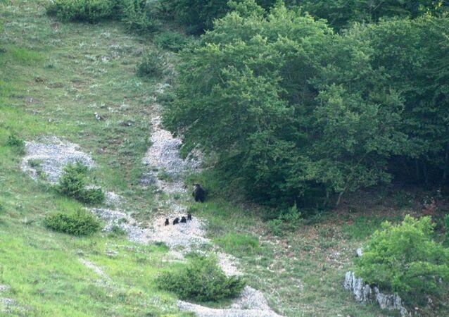 Un'orsa del parco nazionale dell'Abruzzo è stata avvistata mentre si trovava con i suoi quattro cuccioli.
