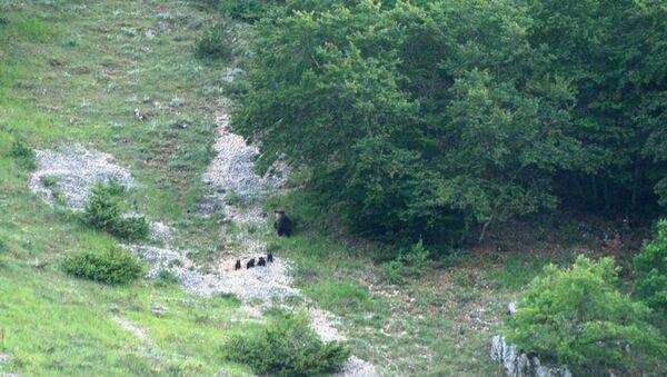 Mamma orsa con i suoi quattro cuccioli a spasso per il Parco Nazionale d'Abruzzo - Foto Servizio Sorveglianza del Parco - Sputnik Italia