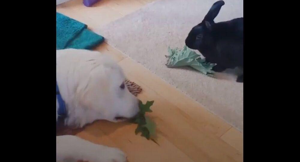 Coniglietto nero e Golden Retriever diventano migliori amici