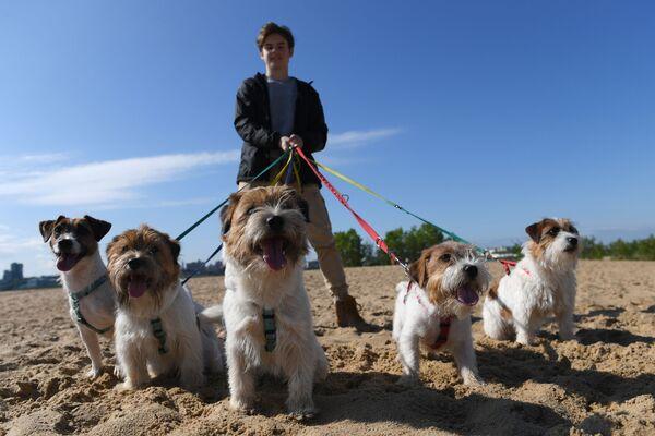 I cani di razza Jack Russell Terrier durante l'addestramento  - Sputnik Italia