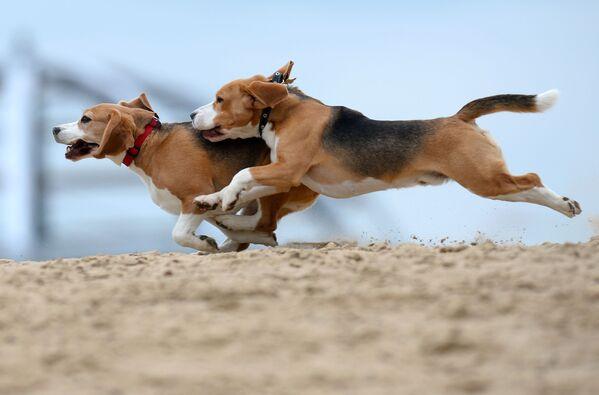 I cani di razza beagle durante l'addestramento  - Sputnik Italia